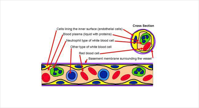 Blood vessel illustration showing red cells and white cells floating in a liquid called plasma