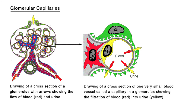 Glomerular Capillaries