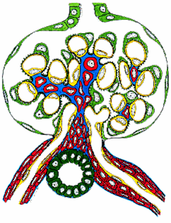 Normal glomerulus - graphic illustration