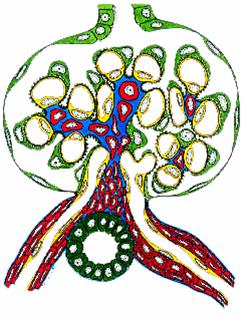 Normal glomerulus - graphic illustration