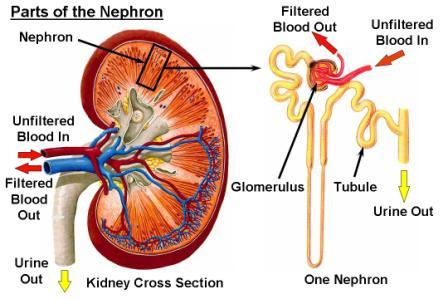 Parts of the Nephron
